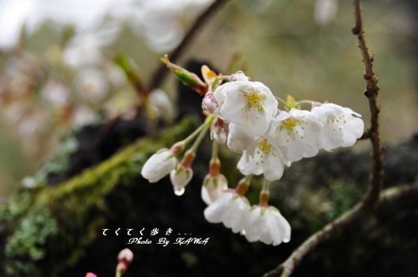 8うば桜11.03.21