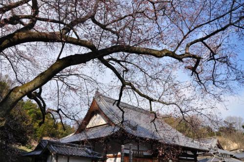1金龍桜11.03.26