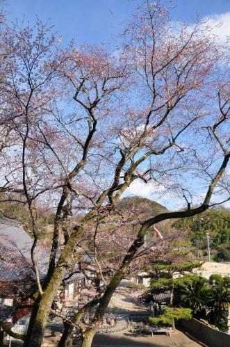 2金龍桜11.03.26