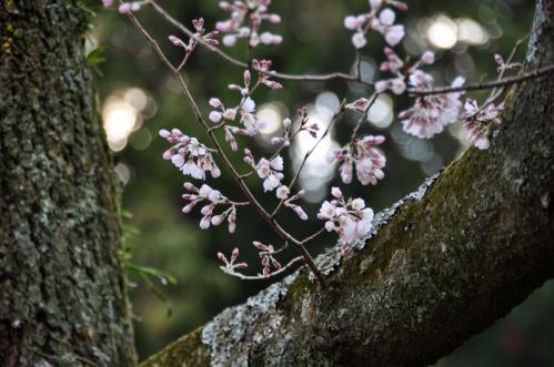 3金龍桜11.03.26
