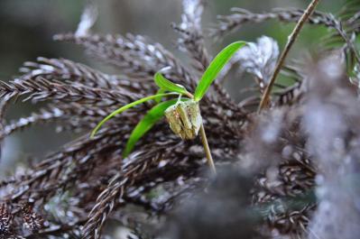 1アワコバイモ白糸の滝11.03.27