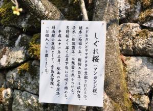 2しぐれ桜11.03.30