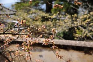 3しぐれ桜11.03.30