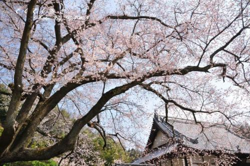 1金龍桜11.03.30