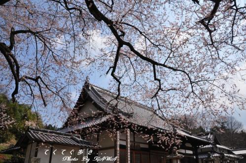2金龍桜11.03.30