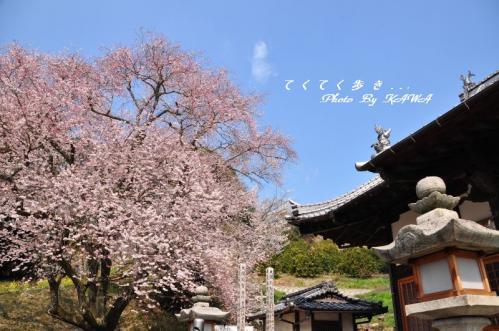 3金龍桜11.03.30