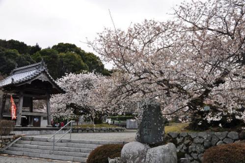9一樹桜11.04.03