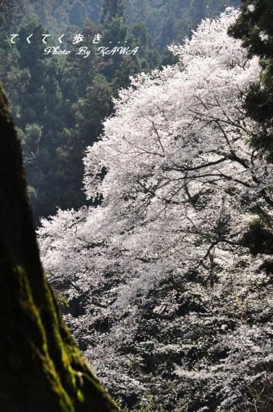 10源太桜11.04.09 1