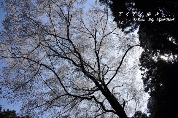 11源太桜11.04.09 2
