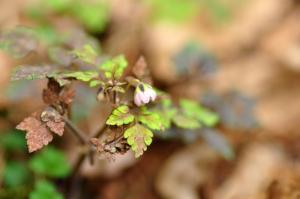 6サイゴクサバノオ(ピンク2)白糸11.04.17