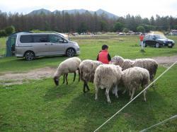 羊に囲まれる