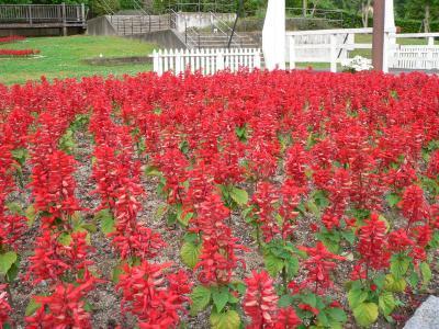 写真キャプション=「鶴見緑地」で見たサルビアの群咲き
