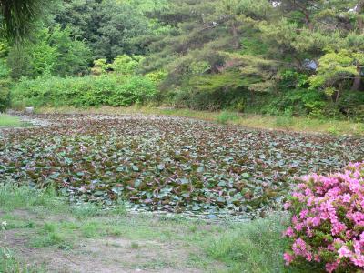 写真キャプション=そろそろ咲き始めようとしているハス池の「ハス」