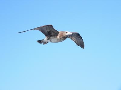 写真キャプション=風を羽でうまく調整して平行飛行するカモメ
