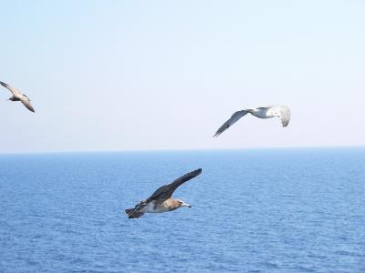 写真キャプション=こんな飛び方をみると、自分も縦横無尽に海の上を飛んでみたくなる
