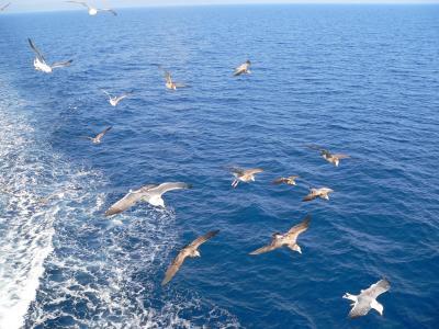 """写真キャプション=どこまでも船を追いかけてダイナミックな""""飛び""""を見せてくれるカモメ"""