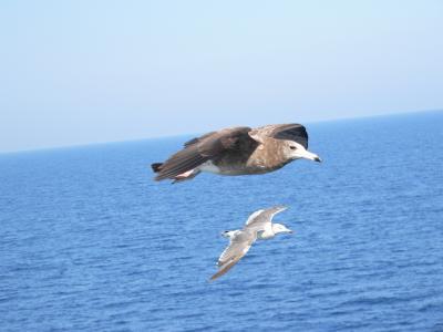 写真キャプション=気持ちよさそうに並んで飛ぶカモメ