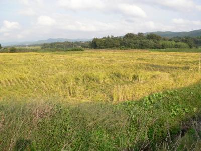 写真キャプション=シルバーウィークに帰ったときに撮った我が家の田んぼ。すでに黄金色になり、刈り取りを待つばかりの状態になっていた