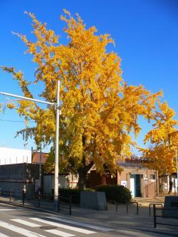 写真キャプション=秋深まると言うより、すでに初冬で葉が落ち始めたイチョウ