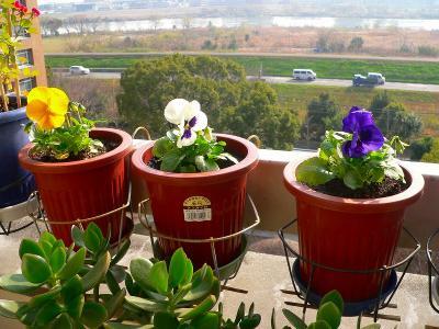 写真キャプション=昨日、冬用の花として植え付けした「パンジー」