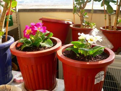 写真キャプション=同じく、冬用の彩りとして植えつけた「ジュリアン」。これからどんどん花を咲かせてくれることだろう