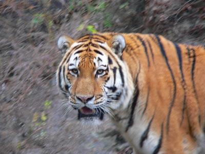 写真キャプション=2010年の干支となる虎の勇姿。今年はいろいろと吼(ほ)えていきたい