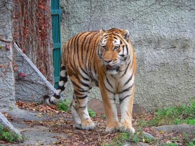 写真キャプション=やたらと歩き回って、なかなか写真を撮らせてくれなかった天王寺動物園の虎