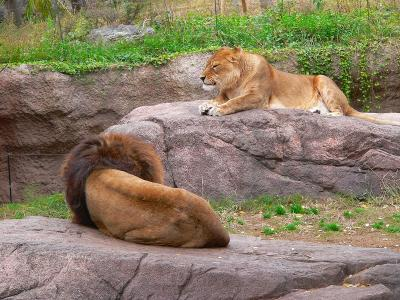 写真キャプション=オスよりも威厳を感じさせる堂々としたライオンのメス