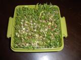 豆苗水栽培