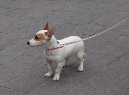 ミラノの犬