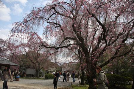 八重紅枝垂桜