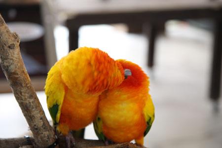 インコのキス