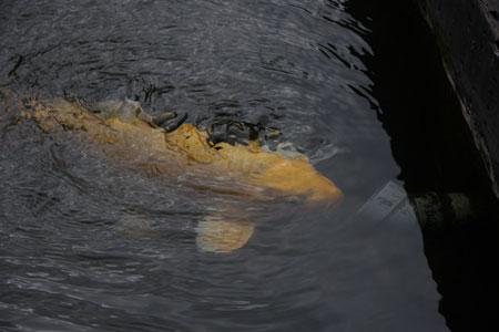ジャグジー気分の鯉