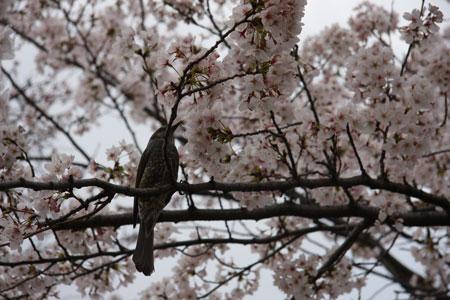 桜を食べる
