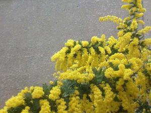 mimoza_3_20100314223659.jpg