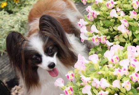トレニアの花が満開でしゅね~