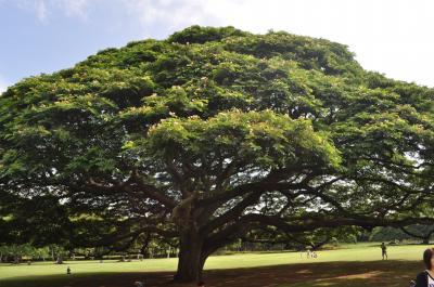 ハワイ2009.12この木何の木①