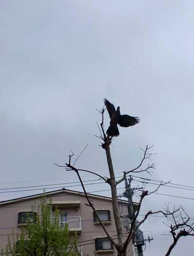 山鳩が飛び立つ