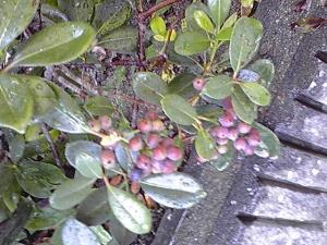 20101025雨散歩木の実