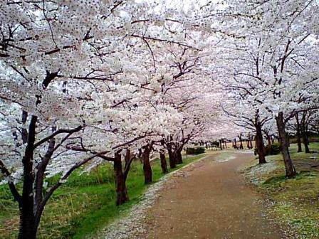 鳥屋野の桜