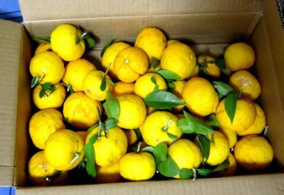 2010ゆず新松戸11.30.収穫