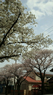 震災から1カ月&お花見