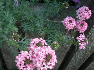 猛暑に元気な花です