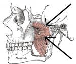 Musculuspterygoideuslateralis.png