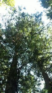 針葉樹の檜