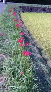 マンジュシャゲの花