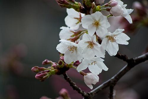 雨桜1-12