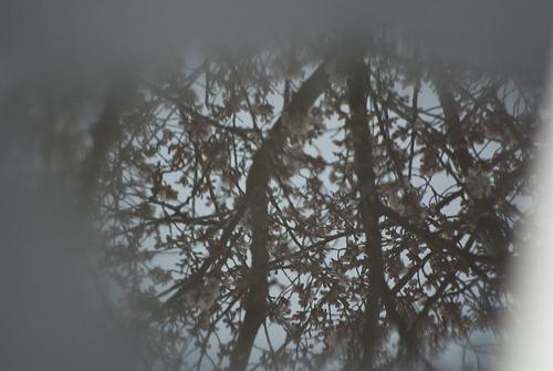 雨桜1-3