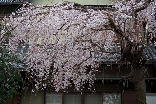 雨桜2-1