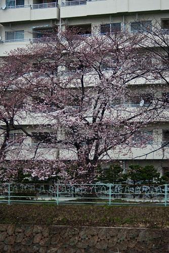 雨桜2-2